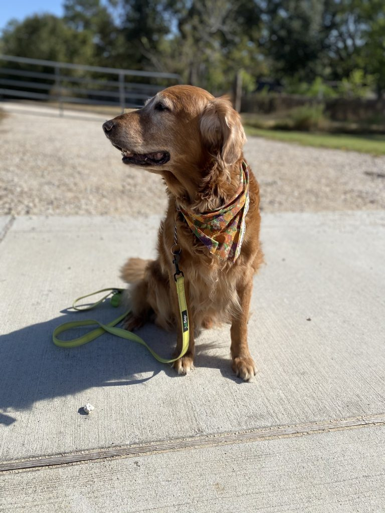 Sawyer   golden retriever