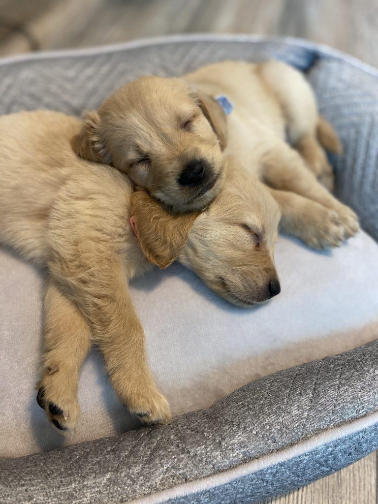 Texas Golden Retriever Puppies