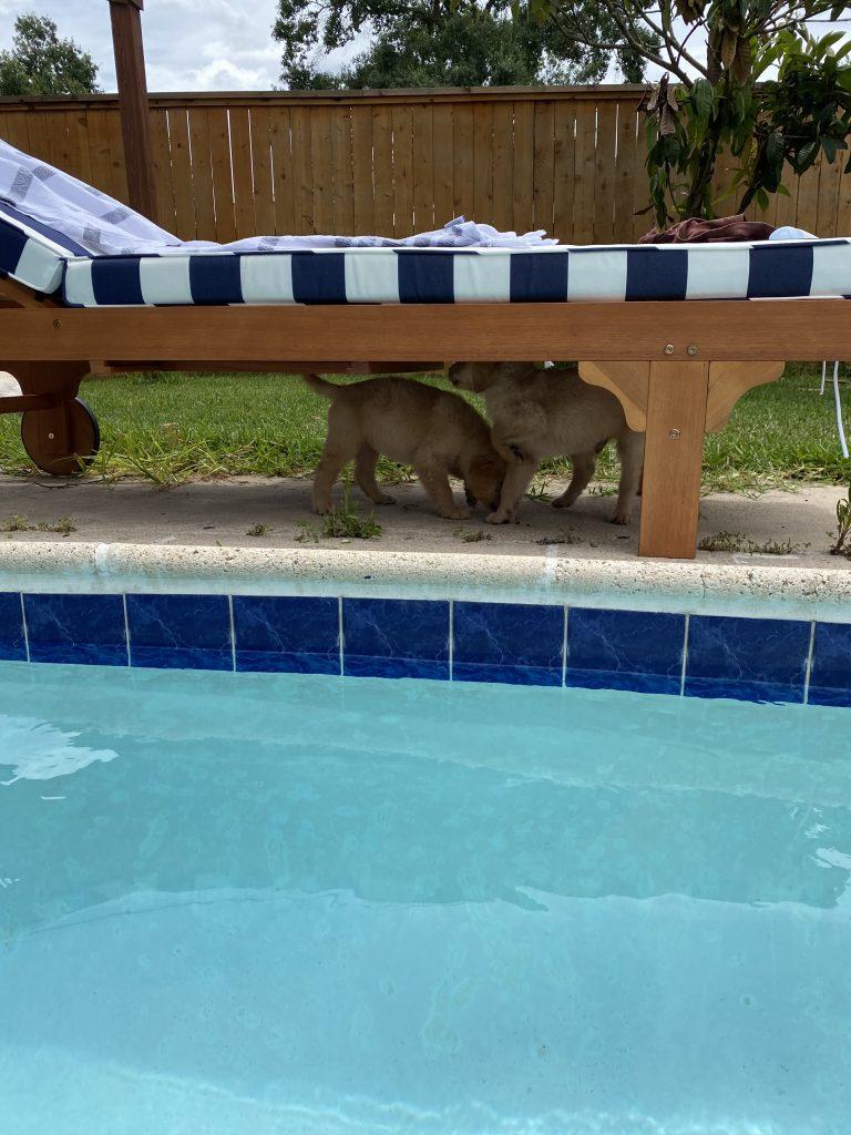 golden retriever puppy   swim lesson